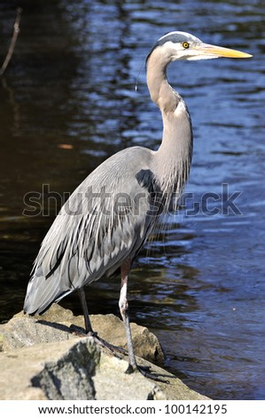 great blue heron on a sunny day - stock photo