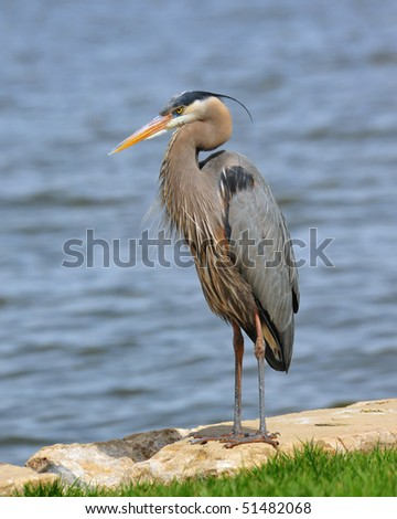 Great Blue Heron on the Chesapeake Bay Maryland - stock photo