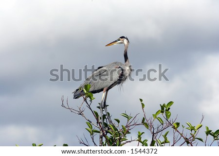 Great blue heron perched atop a tree in the Everglades.