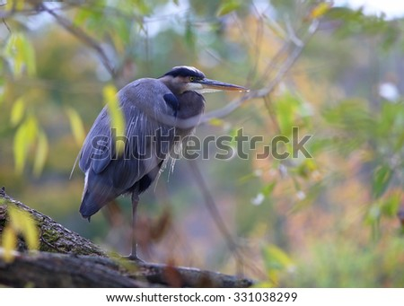 Great blue heron perching on a tree, Canada. - stock photo