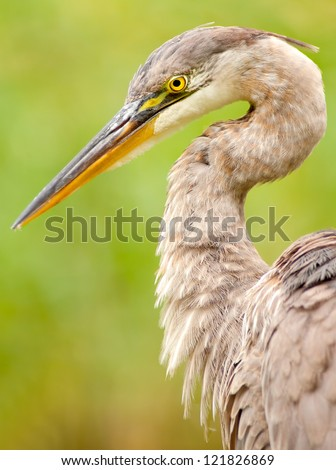 Great Blue Heron Portrait / close up / face (Ardea herodias). Montreal, Quebec, Canada, North America. - stock photo