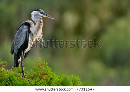 great blue heron poses on cypress tree in florida wetland - stock photo