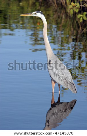Great Blue Heron reflected in smooth blue water