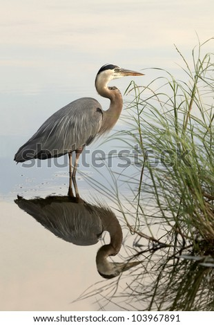 Great Blue Heron Reflected in Still Water - stock photo