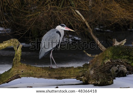 great blue heron resting a collapsed tree on a icy lake - stock photo