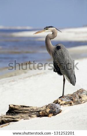 Great Blue Heron Resting on Florida Beach - stock photo