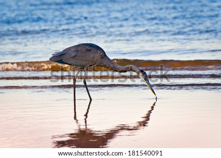 Great Blue Heron searching for food at twilight on a Chesapeake Bay beach in Maryland - stock photo