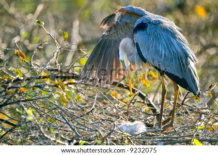 great blue heron shades its chick with wing spread