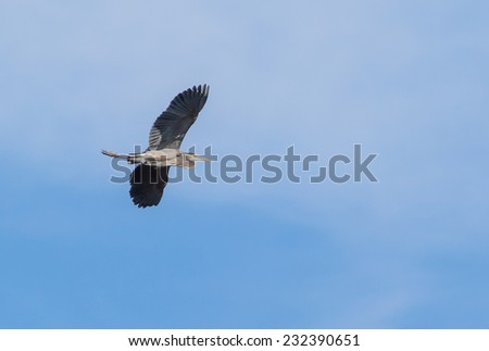 Great Blue Heron Soaring over lake - stock photo