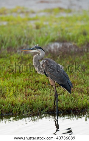 Great blue heron standing in shallow water - stock photo