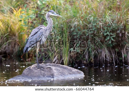 Great Blue Heron standing on a rock in Algonquin Provincial Park, Ontario. - stock photo