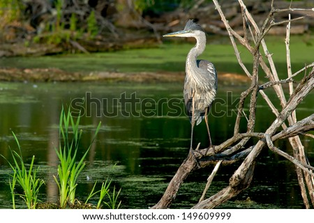 Great Blue Heron standing on some dead branches looking out over a pond. - stock photo