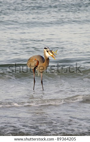 Great blue heron swallowing a fish at the ocean.