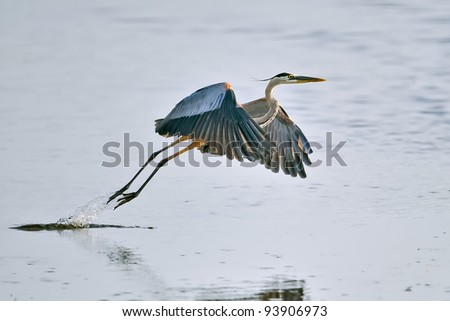 great blue heron takes flight from florida wetland pond - stock photo