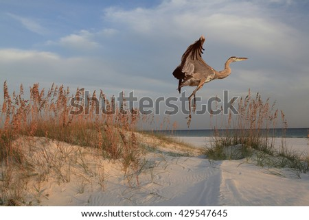 Great Blue Heron Takes Off, Sunrise on the Beach  - stock photo