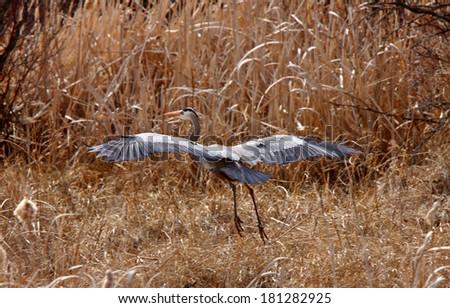 Great Blue Heron taking flight - stock photo