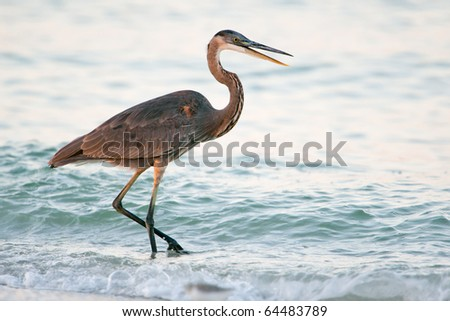 great blue heron wades at dawn along gulf coast of florida - stock photo