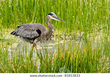 great blue heron wades in florida wetland - stock photo