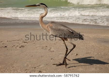 Great Blue Heron walking along Gulf-of-Mexico - stock photo