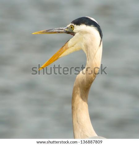 Great Blue Heron with Beak Open - stock photo