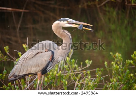Great Blue Heron with Catfish in his beak at Everglades National Park - stock photo