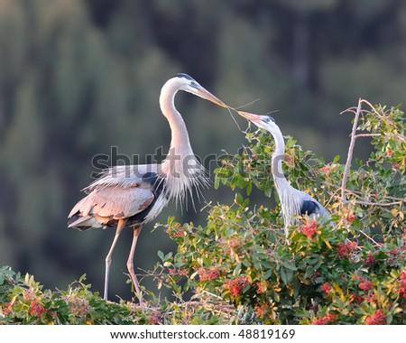 Great Blue Herons (Ardea Herodias) - stock photo