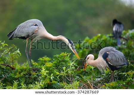 Great Blue Herons  (Ardea herodias) exchanging nesting material. It is the largest North American heron. - stock photo