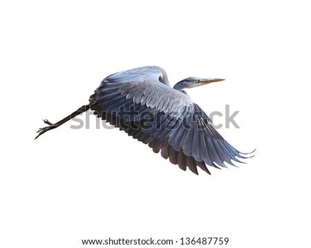 Great Blue Herons (ardea herodias)  in flight, isolated on white - stock photo