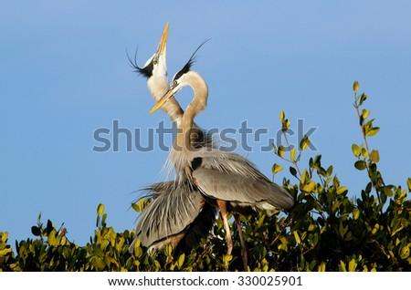 Great blue herons (Ardea herodias) in the nest - stock photo