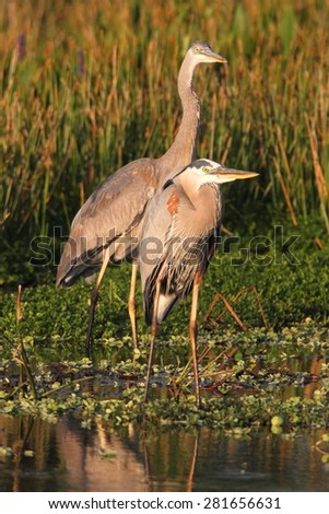 Great Blue Herons (Ardea Herodias) standing in a marsh - stock photo