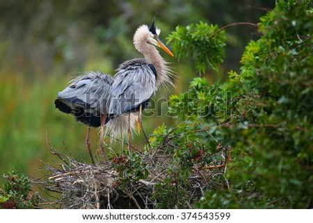 Great Blue Herons (Ardea herodias) standing in the nest. It is the largest North American heron. - stock photo