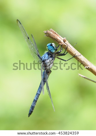 Great Blue Skimmer Dragon Fly Resting on a Small Branch      - stock photo