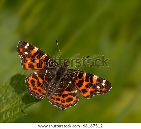 Great butterfly (Araschnia levana) view from above with a nice background