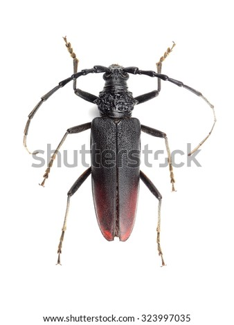 Great capricorn beetle (Cerambyx cerdo) isolated on white background - stock photo