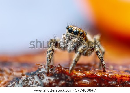 Great close up shot of the Zebra jumping spider (Salticus scenicus) with lovely background - stock photo