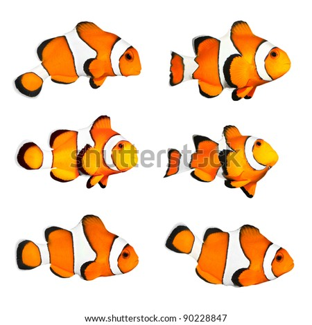 Great collection of a tropical reef fish - Clownfish (Amphiprion ocellaris) - isolated on white background. - stock photo