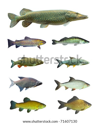 Great collection of freshwater fish on white background. - stock photo