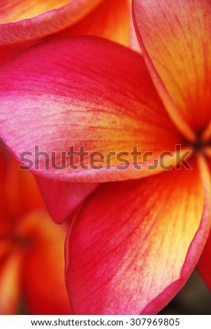 Great Color Gradation of Petals Three Colors Kamboja from Indonesia Portrait - Extreme Close up Details.. Have 3 color gradation: red, yellow, and white..
