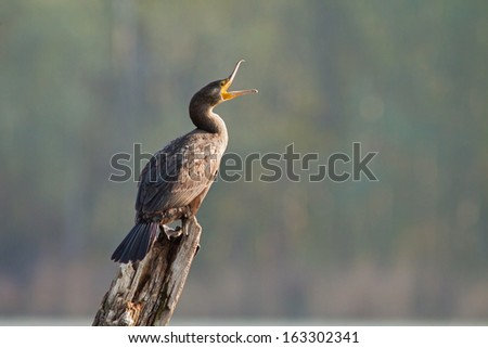 Great cormorant sitting on the branch, blurred background, Phalacrocorax carbo