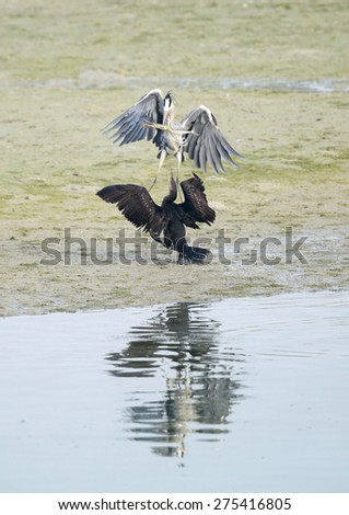 Great Cormorant trying to snatch fish from Grey Heron - stock photo