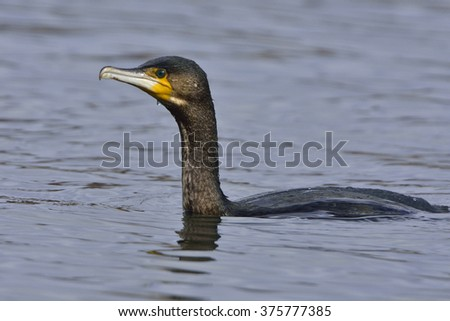 Great cormorant when fishing - stock photo