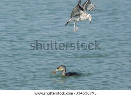 Great Cormorant with fish and sea gull above - stock photo