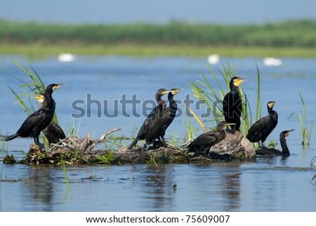 Great Cormorants on a log - stock photo