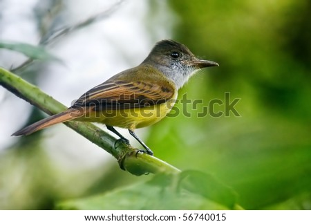 Great Crested Flycatcher - stock photo