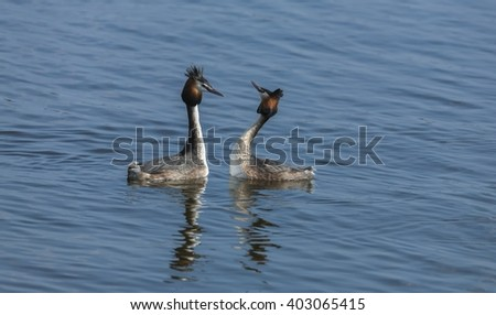 Great Crested Grebe Mating Season