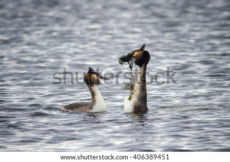 Great Crested Grebes (Podiceps cristatus) courtship