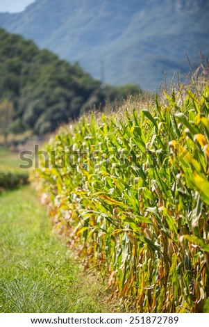 Great cultivated cornfield rural landscape. - stock photo