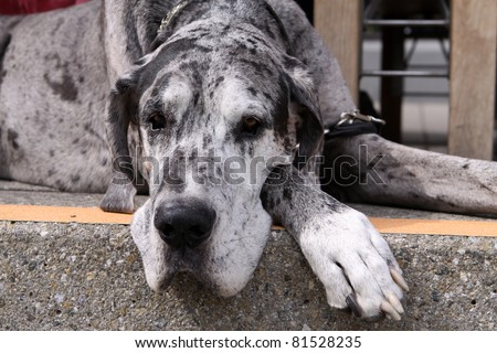 Great Dane Dog - stock photo