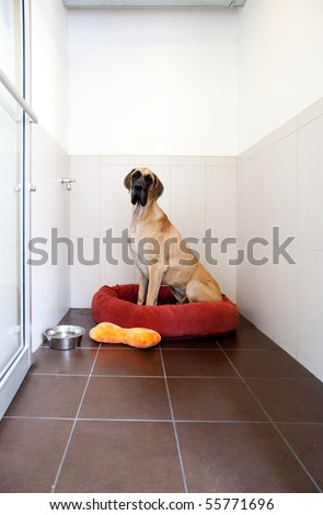 Great Dane Dog in a pet hotel - stock photo