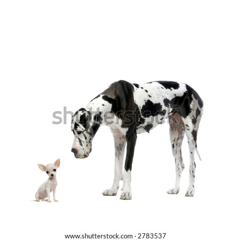 Great Dane HARLEQUIN and puppy Chihuahua at each other in front of a white background - stock photo